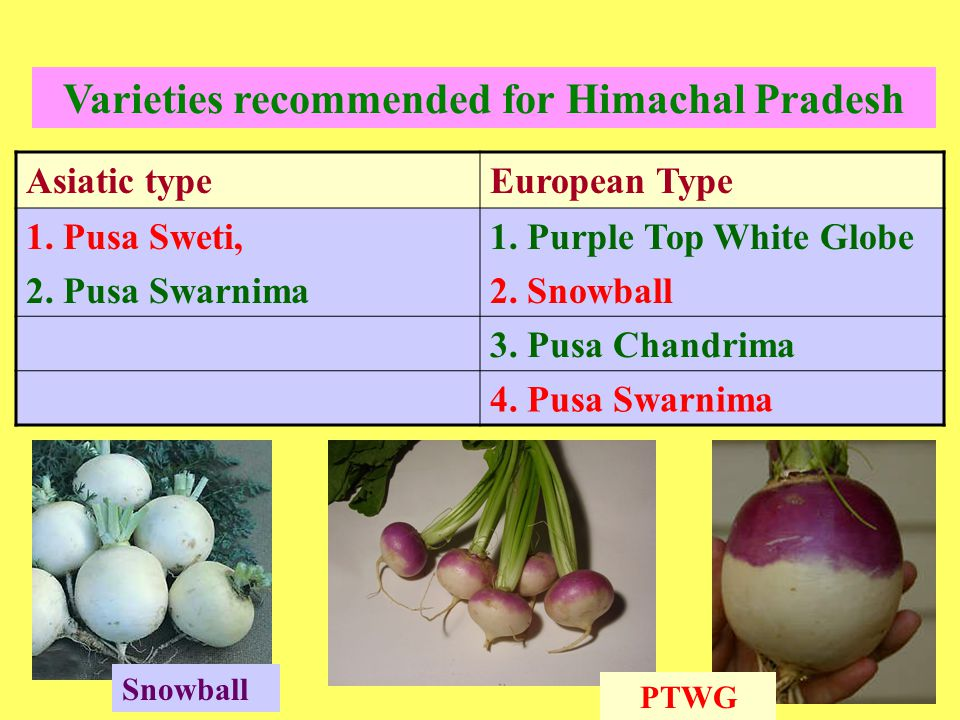 Varieties recommended for Himachal Pradesh Asiatic typeEuropean Type 1. Pusa Sweti, 2. Pusa Swarnima 1. Purple Top White Globe 2. Snowball 3. Pusa Cha