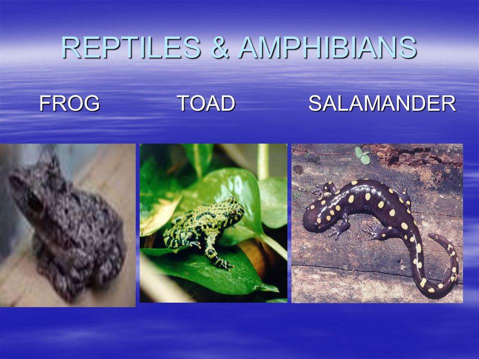 REPTILES & AMPHIBIANS FROG TOADSALAMANDER
