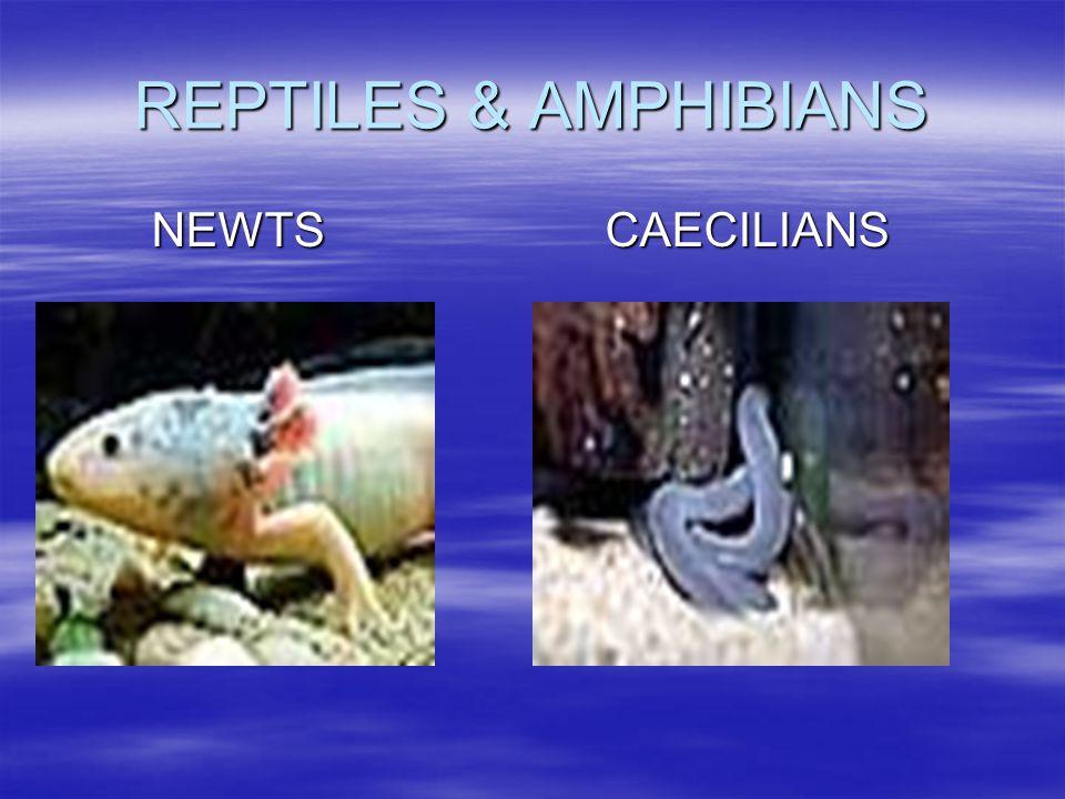 REPTILES & AMPHIBIANS NEWTS CAECILIANS NEWTS CAECILIANS
