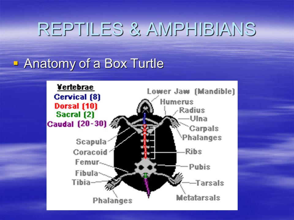 REPTILES & AMPHIBIANS  Anatomy of a Box Turtle