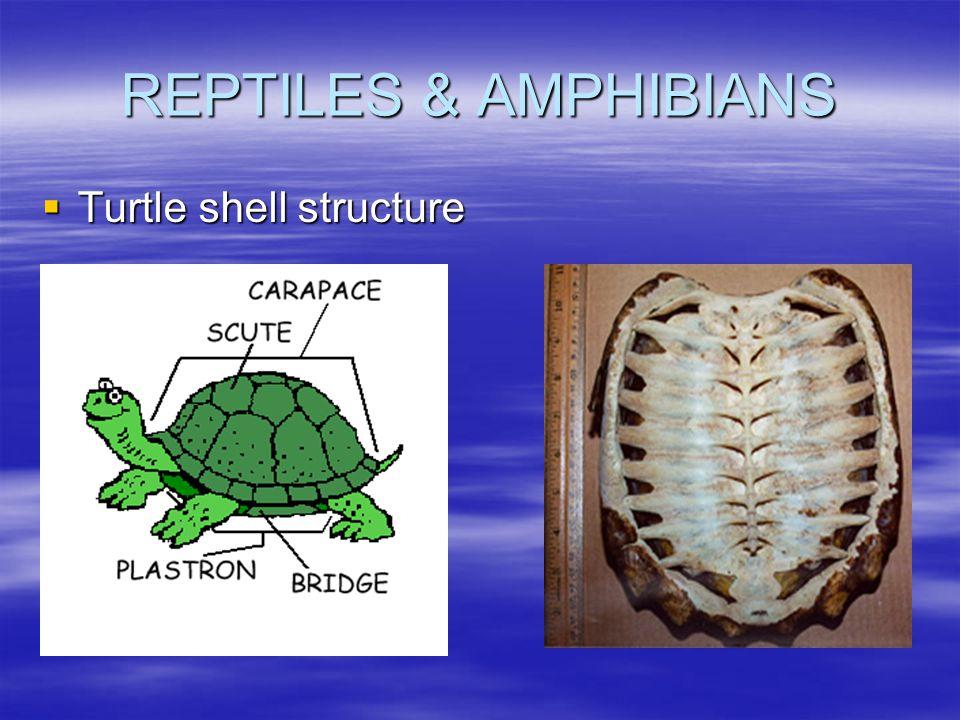 REPTILES & AMPHIBIANS  Turtle shell structure