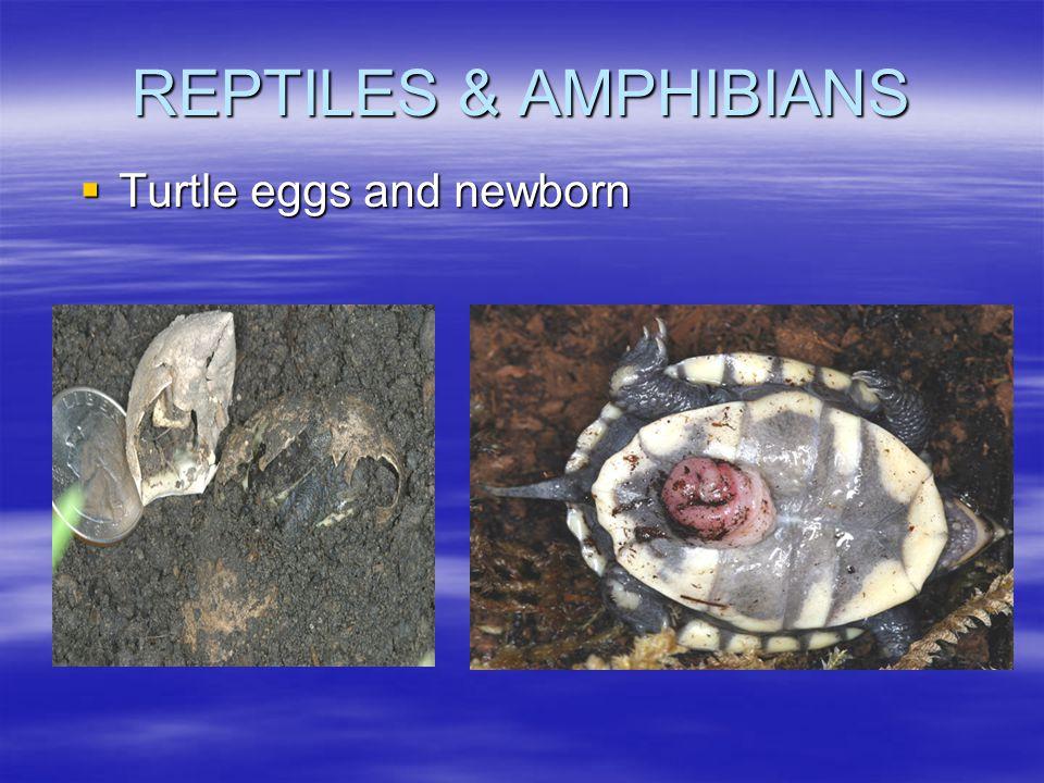 REPTILES & AMPHIBIANS  Turtle eggs and newborn