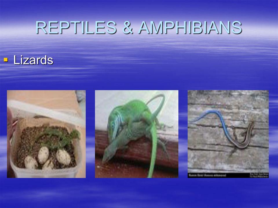 REPTILES & AMPHIBIANS  Lizards