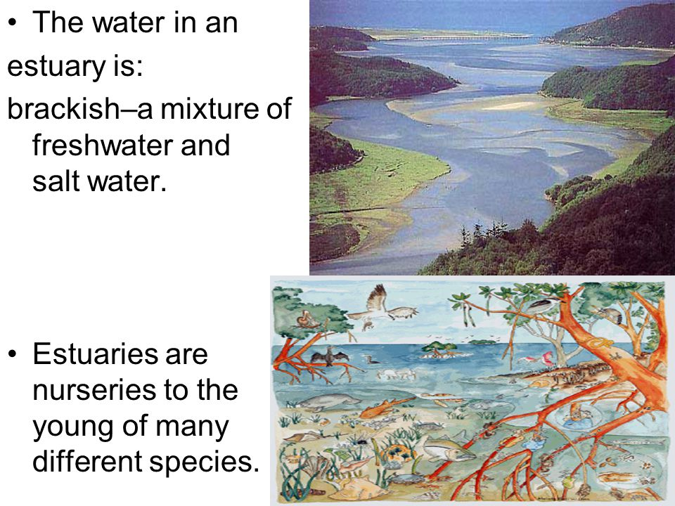 The water in an estuary is: brackish–a mixture of freshwater and salt water. Estuaries are nurseries to the young of many different species.