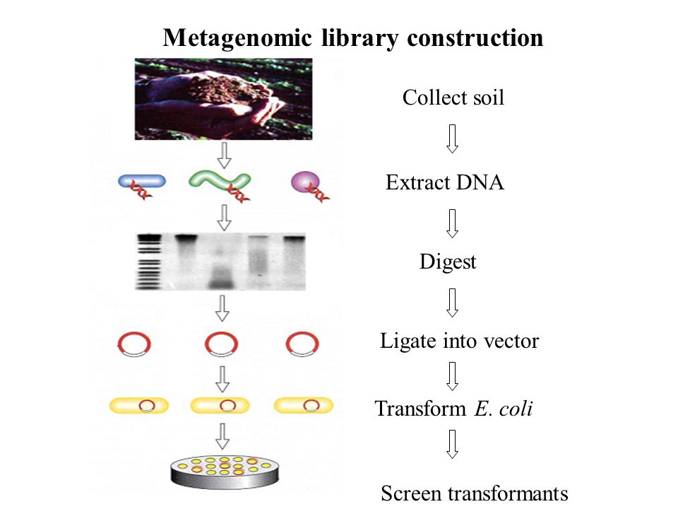 Dissect larvae, separate bacteria Extract DNA Digest Metagenomic library construction Ligate into vector Transform E.