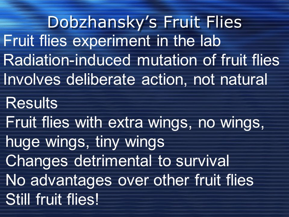 Dobzhansky's Fruit Flies Fruit flies experiment in the lab Radiation-induced mutation of fruit flies Involves deliberate action, not natural Results F