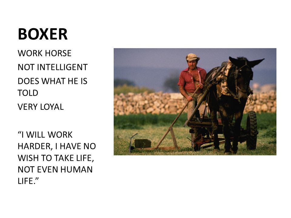 BOXER WORK HORSE NOT INTELLIGENT DOES WHAT HE IS TOLD VERY LOYAL I WILL WORK HARDER, I HAVE NO WISH TO TAKE LIFE, NOT EVEN HUMAN LIFE.