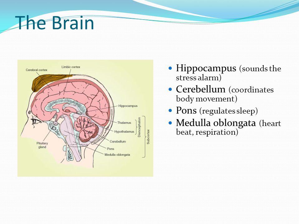 The Brain Hippocampus (sounds the stress alarm) Cerebellum (coordinates body movement) Pons (regulates sleep) Medulla oblongata (heart beat, respiration)