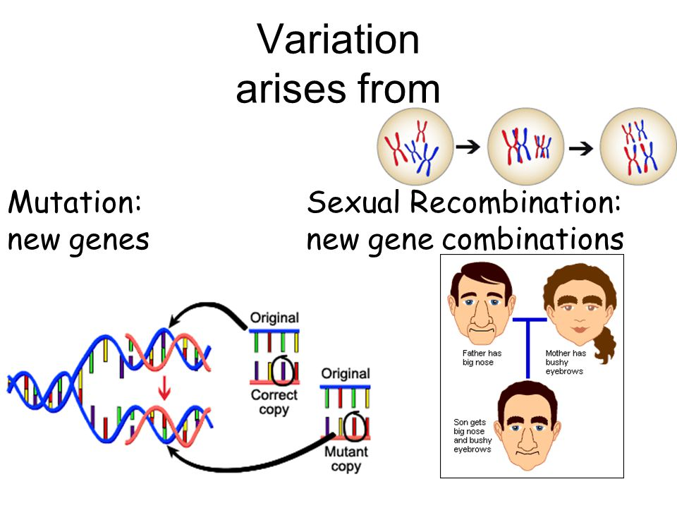 Variation arises from Mutation: new genes Sexual Recombination: new gene combinations