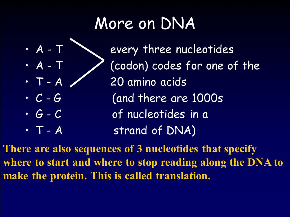 More on DNA A - T every three nucleotides A - T (codon) codes for one of the T - A 20 amino acids C - G (and there are 1000s G - C of nucleotides in a T - A strand of DNA) There are also sequences of 3 nucleotides that specify where to start and where to stop reading along the DNA to make the protein.