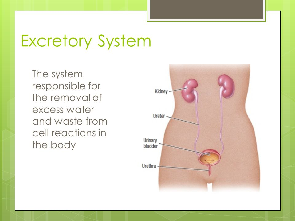 Excretory System The system responsible for the removal of excess water and waste from cell reactions in the body