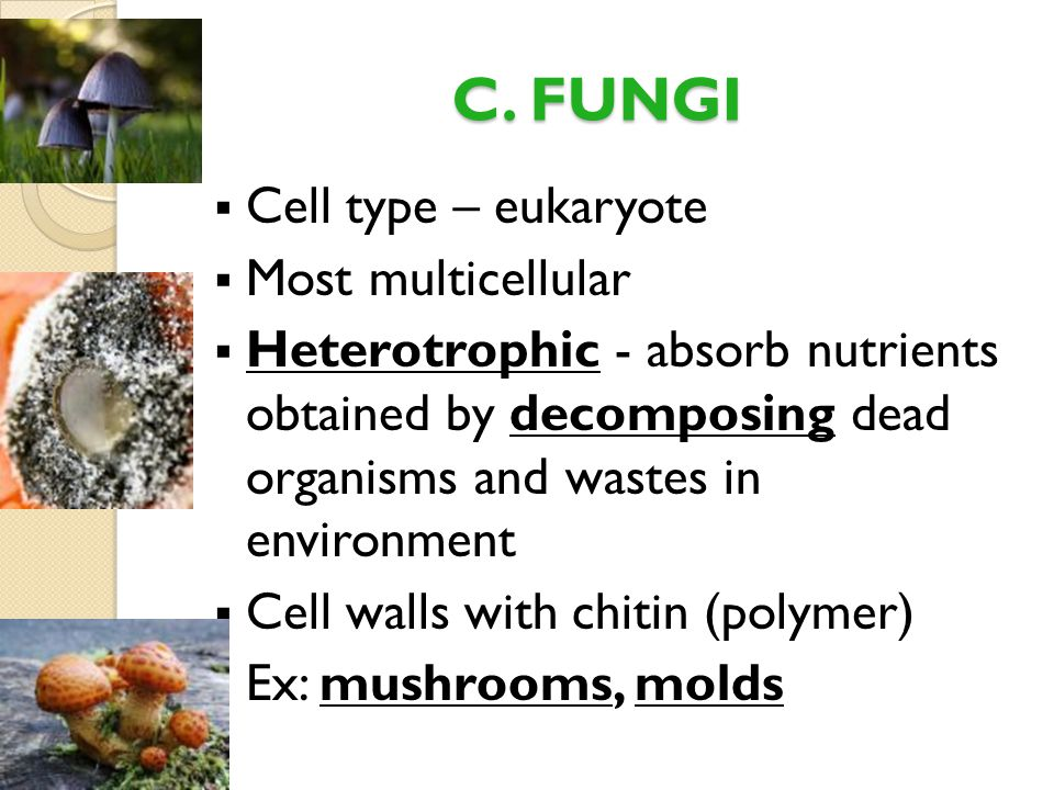 C. FUNGI  Cell type – eukaryote  Most multicellular  Heterotrophic - absorb nutrients obtained by decomposing dead organisms and wastes in environm