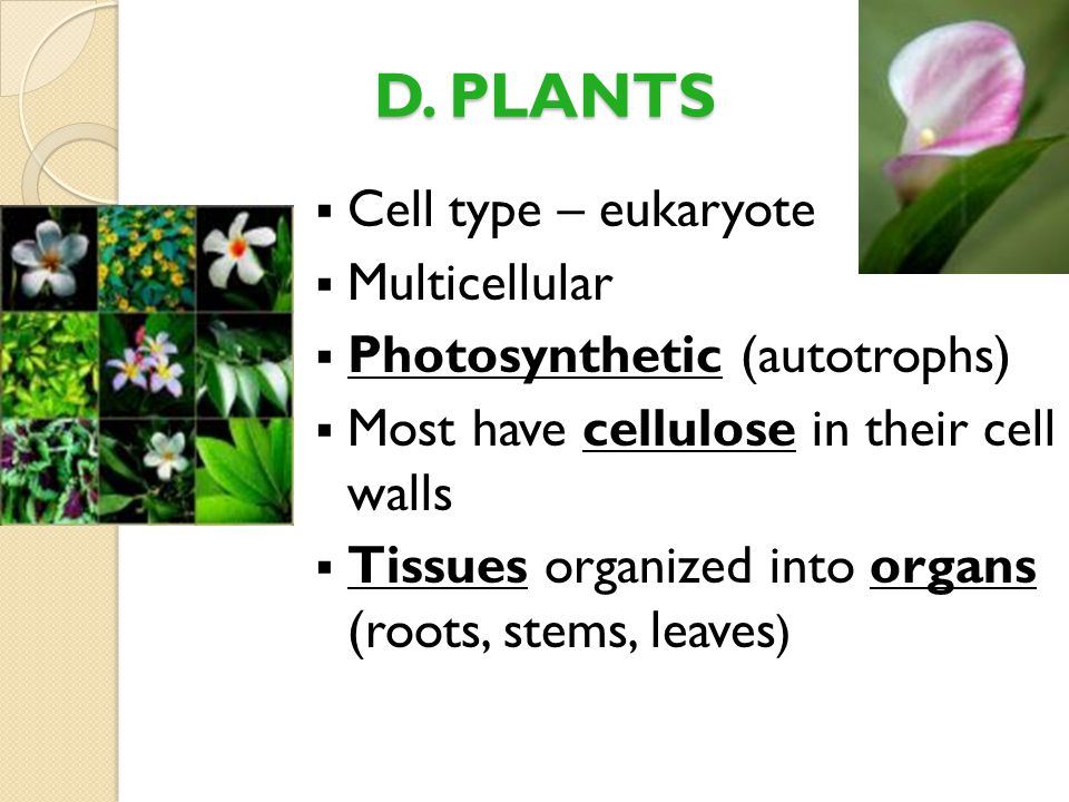 D. PLANTS  Cell type – eukaryote  Multicellular  Photosynthetic (autotrophs)  Most have cellulose in their cell walls  Tissues organized into org