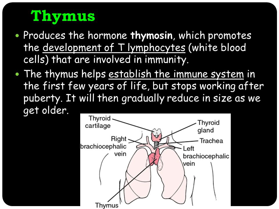 Thymus Produces the hormone thymosin, which promotes the development of T lymphocytes (white blood cells) that are involved in immunity.