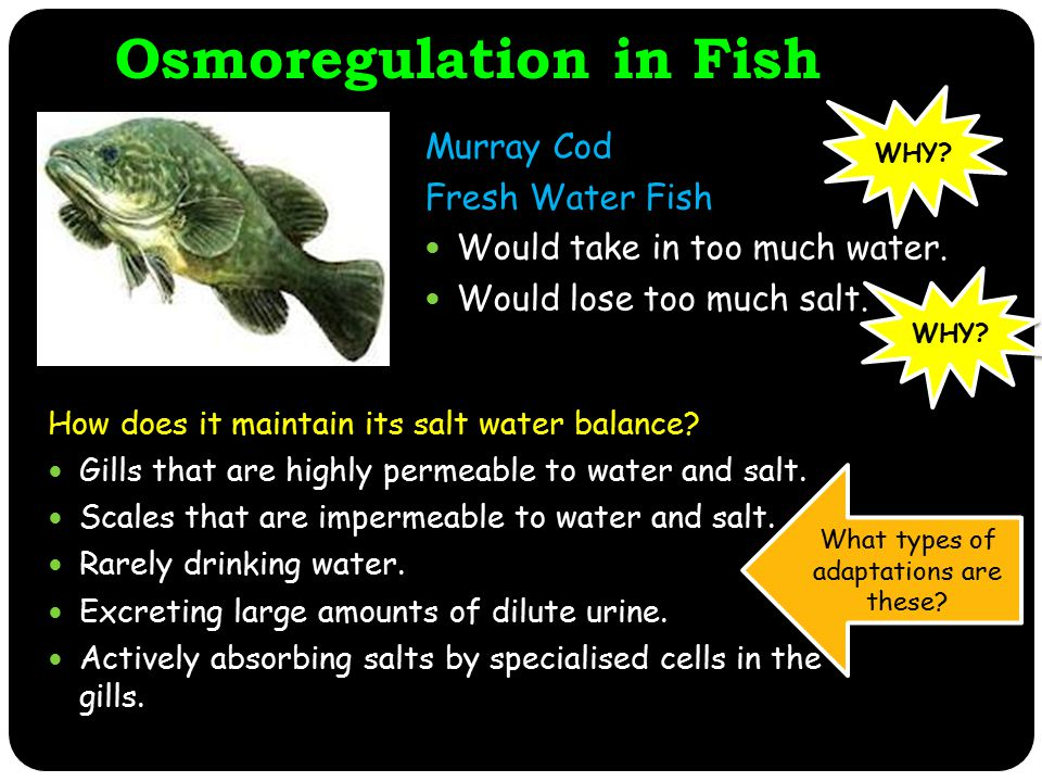 Osmoregulation in Fish Murray Cod Fresh Water Fish Would take in too much water.