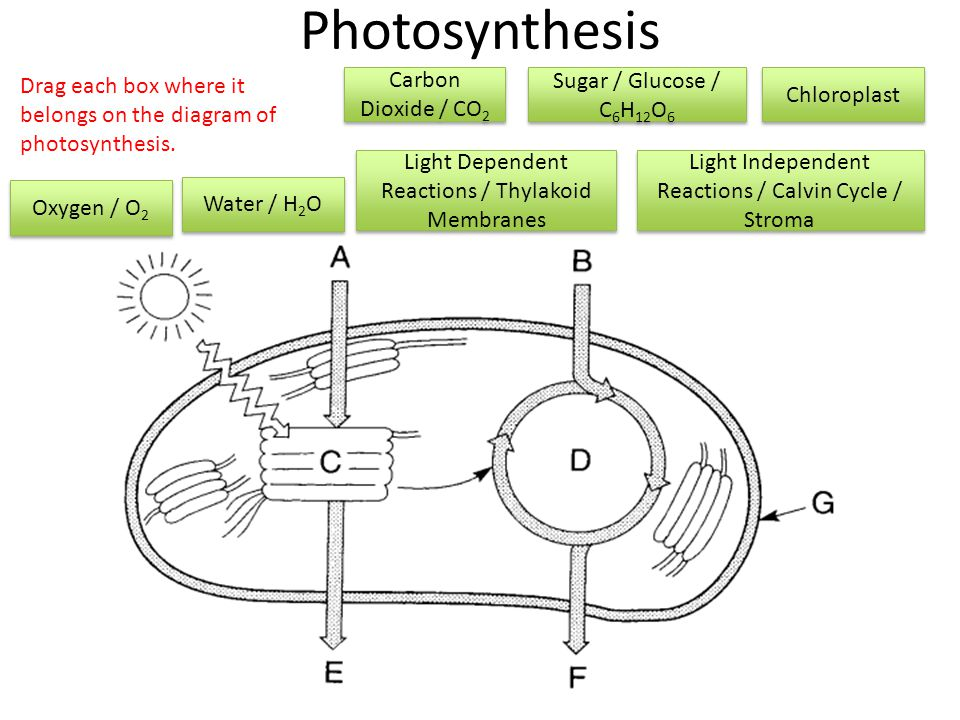 Photosynthesis Water / H 2 O Carbon Dioxide / CO 2 Sugar / Glucose / C 6 H 12 O 6 Chloroplast Oxygen / O 2 Light Dependent Reactions / Thylakoid Membranes Light Independent Reactions / Calvin Cycle / Stroma Drag each box where it belongs on the diagram of photosynthesis.