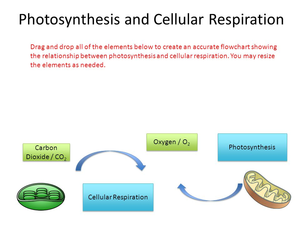 Photosynthesis and Cellular Respiration Oxygen / O 2 Carbon Dioxide / CO 2 Photosynthesis Cellular Respiration Drag and drop all of the elements below to create an accurate flowchart showing the relationship between photosynthesis and cellular respiration.