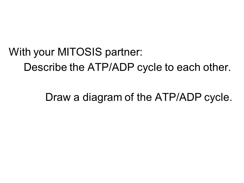 With your MITOSIS partner: Describe the ATP/ADP cycle to each other. Draw a diagram of the ATP/ADP cycle.