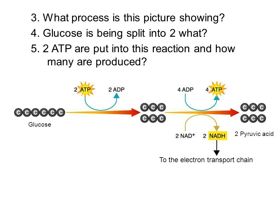 3. What process is this picture showing? 4. Glucose is being split into 2 what? 5. 2 ATP are put into this reaction and how many are produced? Glucose