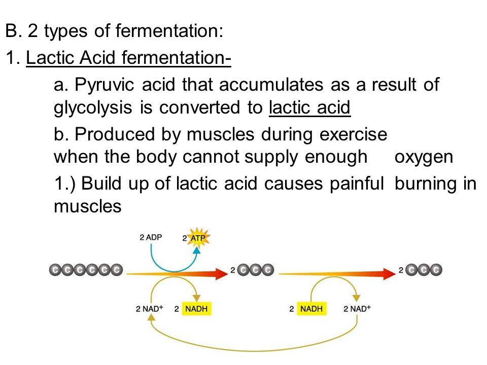 B. 2 types of fermentation: 1. Lactic Acid fermentation- a. Pyruvic acid that accumulates as a result of glycolysis is converted to lactic acid b. Pro