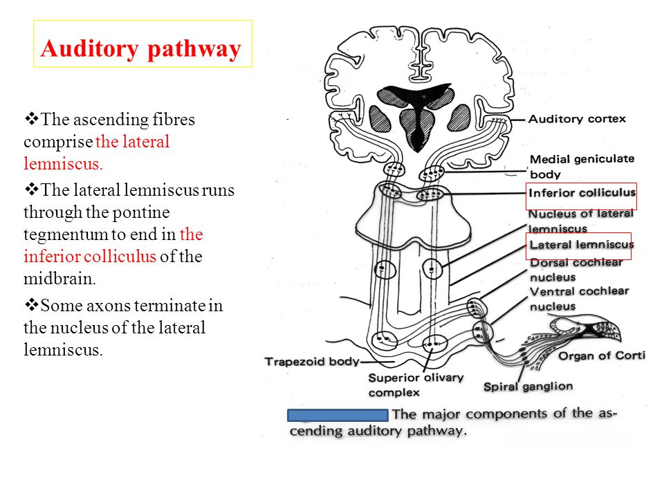 Auditory pathway  The inferior colliculus send axons to the medial geniculate nucleus of thalamus.