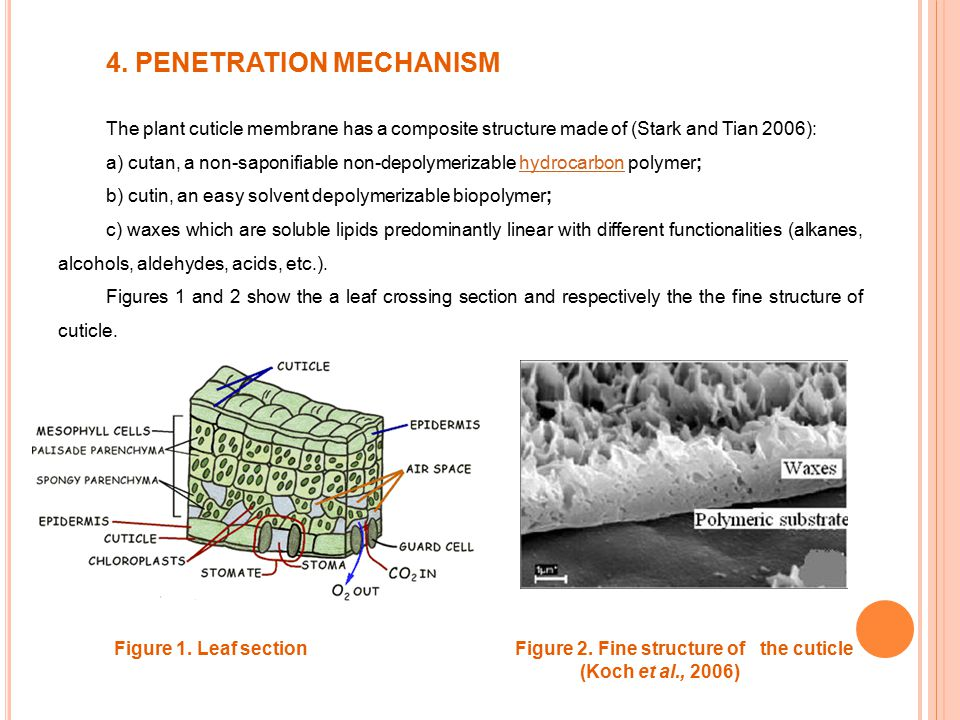 4. PENETRATION MECHANISM The plant cuticle membrane has a composite structure made of (Stark and Tian 2006): a) cutan, a non-saponifiable non-depolyme