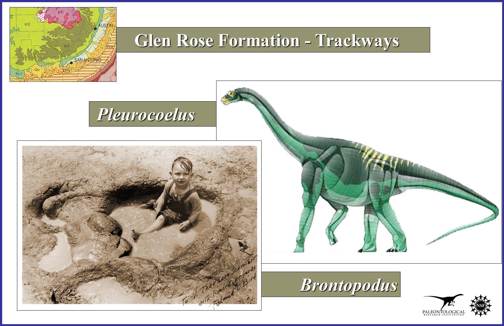Pleurocoelus Pleurocoelus Brontopodus Brontopodus Glen Rose Formation - Trackways
