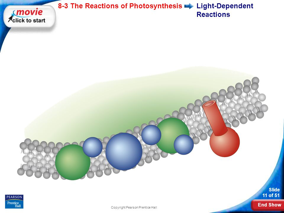 End Show Slide 11 of 51 8-3 The Reactions of Photosynthesis Copyright Pearson Prentice Hall Light-Dependent Reactions