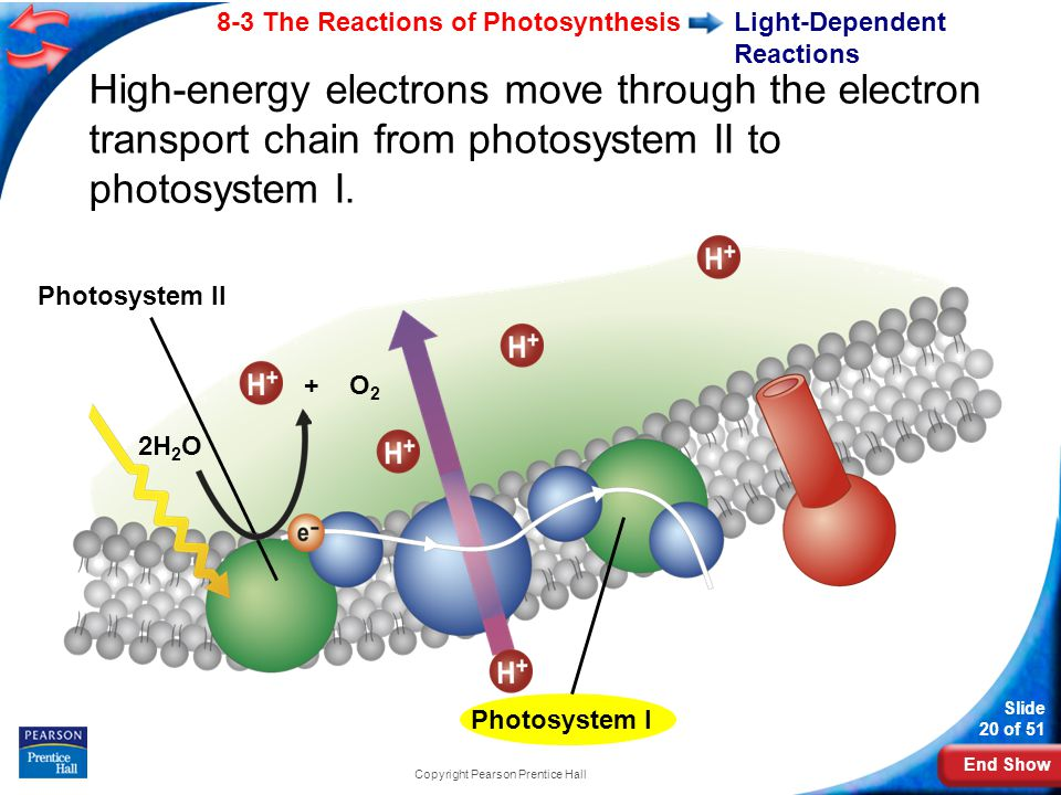 End Show Slide 20 of 51 8-3 The Reactions of Photosynthesis Copyright Pearson Prentice Hall Light-Dependent Reactions Photosystem II 2H 2 O High-energy electrons move through the electron transport chain from photosystem II to photosystem I.