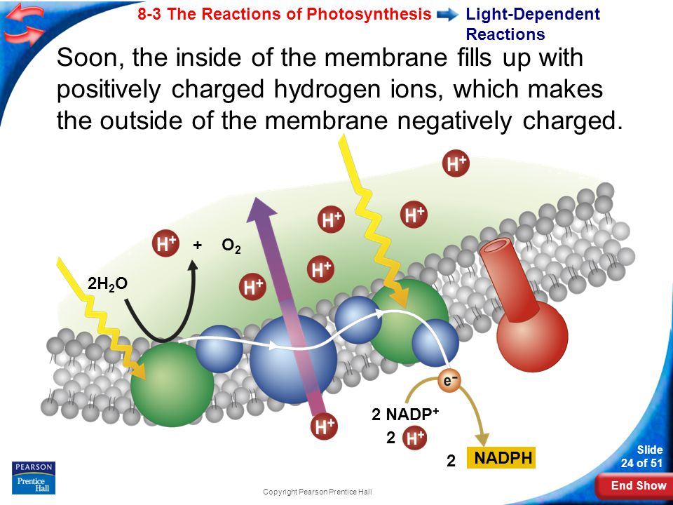 End Show Slide 24 of 51 8-3 The Reactions of Photosynthesis Copyright Pearson Prentice Hall Light-Dependent Reactions 2H 2 O Soon, the inside of the membrane fills up with positively charged hydrogen ions, which makes the outside of the membrane negatively charged.