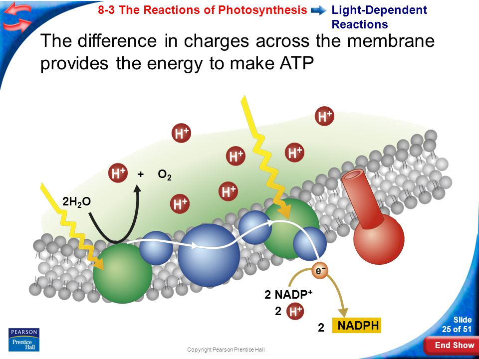 End Show Slide 25 of 51 8-3 The Reactions of Photosynthesis Copyright Pearson Prentice Hall Light-Dependent Reactions 2H 2 O The difference in charges across the membrane provides the energy to make ATP + O 2 2 NADP + 2 NADPH 2