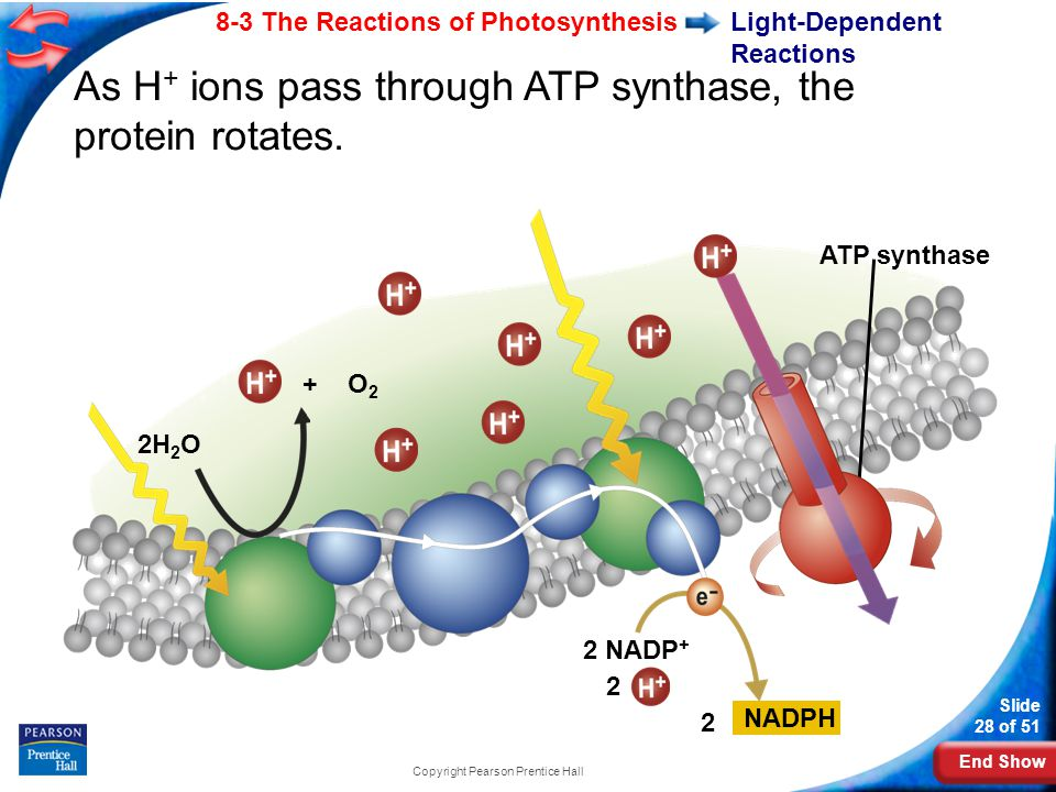 End Show Slide 28 of 51 8-3 The Reactions of Photosynthesis Copyright Pearson Prentice Hall Light-Dependent Reactions 2H 2 O As H + ions pass through ATP synthase, the protein rotates.