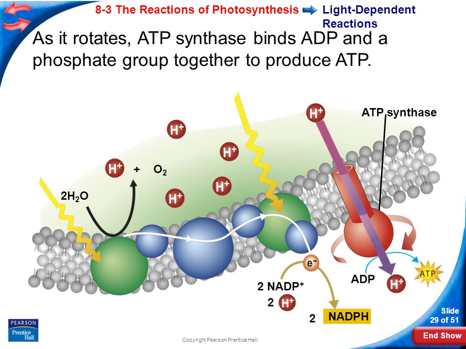End Show Slide 29 of 51 8-3 The Reactions of Photosynthesis Copyright Pearson Prentice Hall Light-Dependent Reactions 2H 2 O As it rotates, ATP synthase binds ADP and a phosphate group together to produce ATP.