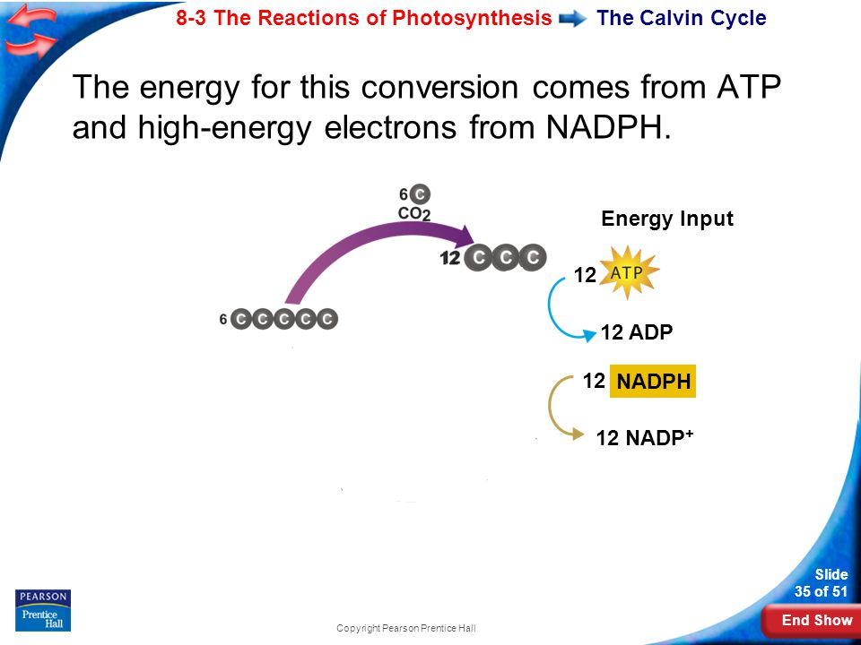 End Show Slide 35 of 51 8-3 The Reactions of Photosynthesis Copyright Pearson Prentice Hall The Calvin Cycle The energy for this conversion comes from ATP and high-energy electrons from NADPH.