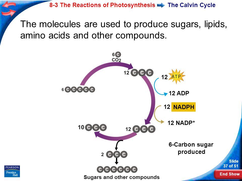 End Show Slide 37 of 51 8-3 The Reactions of Photosynthesis Copyright Pearson Prentice Hall The Calvin Cycle The molecules are used to produce sugars, lipids, amino acids and other compounds.