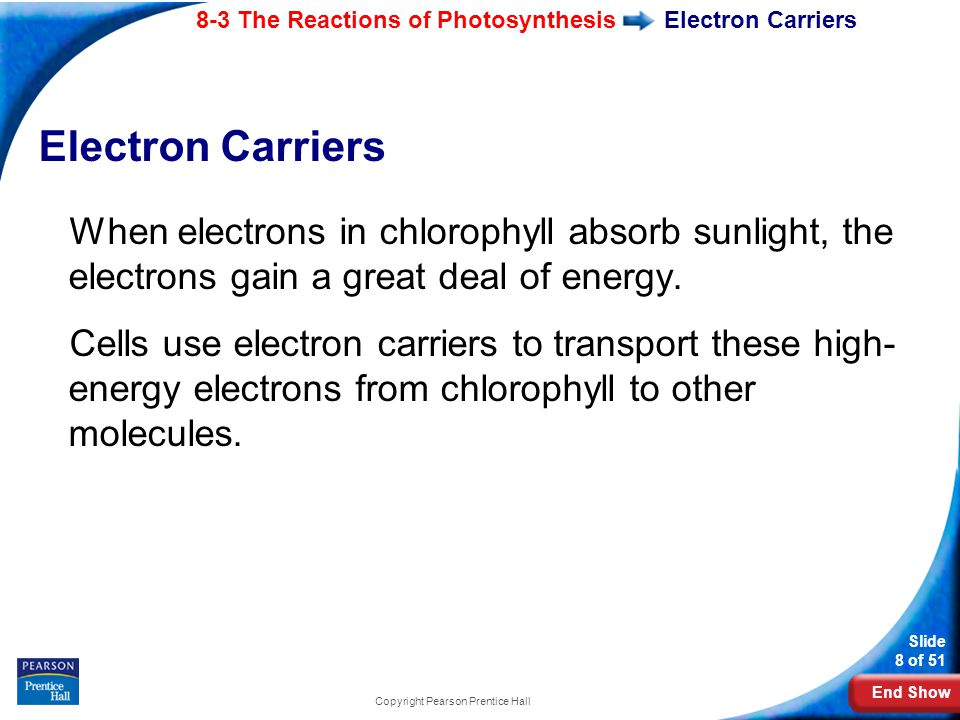End Show Slide 8 of 51 8-3 The Reactions of Photosynthesis Copyright Pearson Prentice Hall Electron Carriers When electrons in chlorophyll absorb sunlight, the electrons gain a great deal of energy.