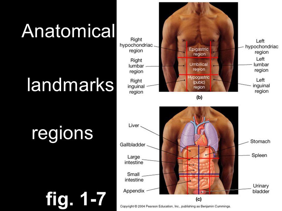 Anatomical references: landmarks regions fig. 1-7