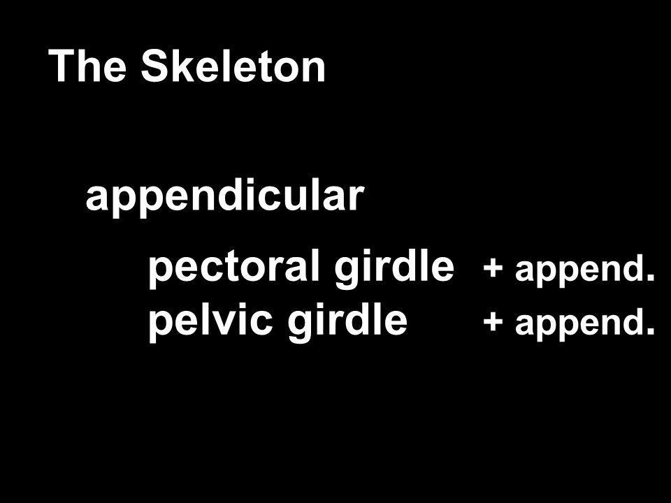 The Skeleton appendicular pectoral girdle + append. pelvic girdle + append.