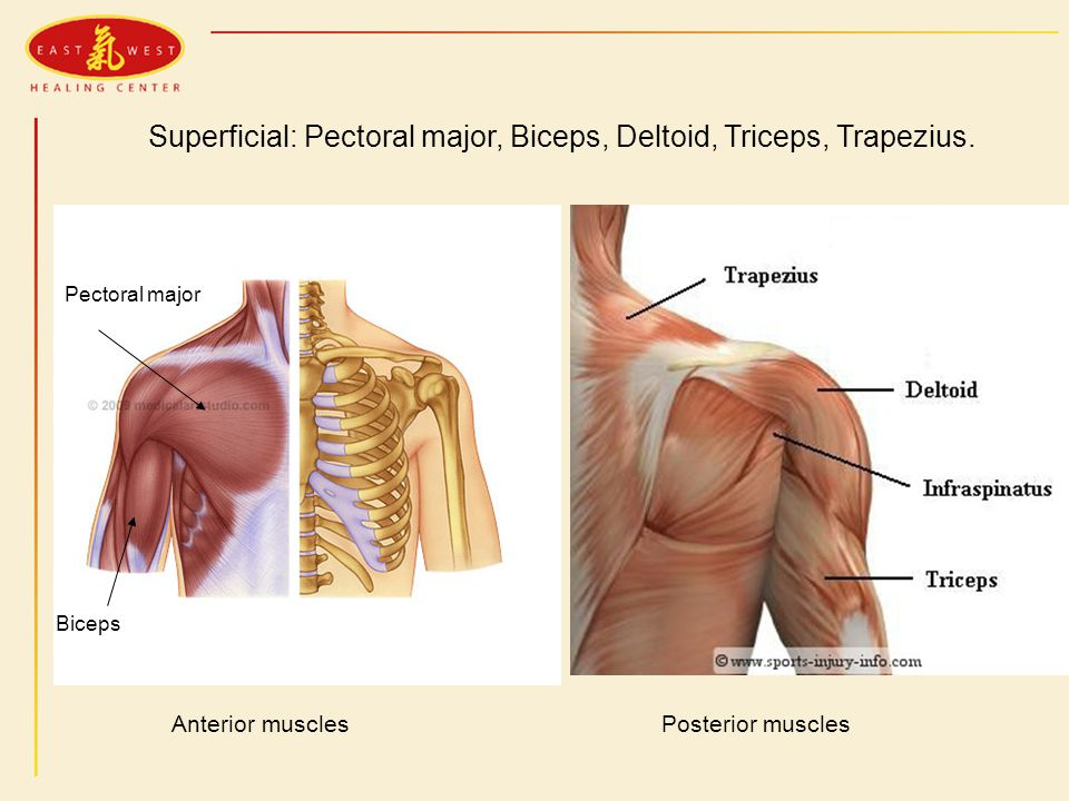 Superficial: Pectoral major, Biceps, Deltoid, Triceps, Trapezius.