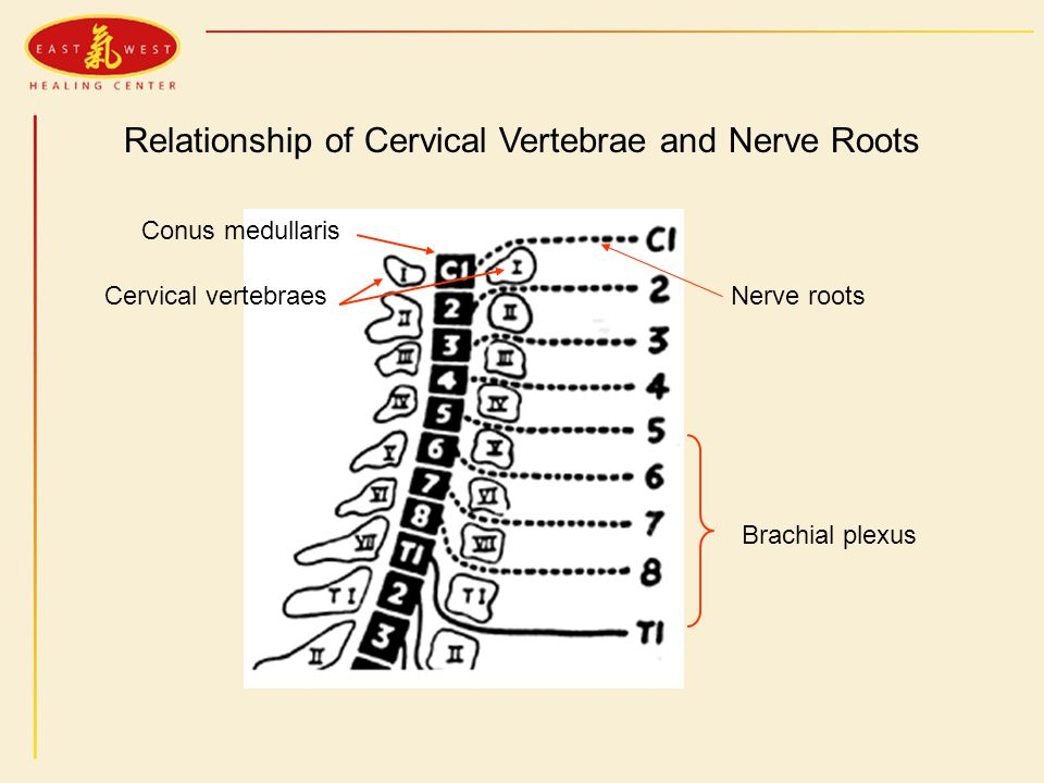 Relationship of Cervical Vertebrae and Nerve Roots Conus medullaris Cervical vertebraesNerve roots Brachial plexus