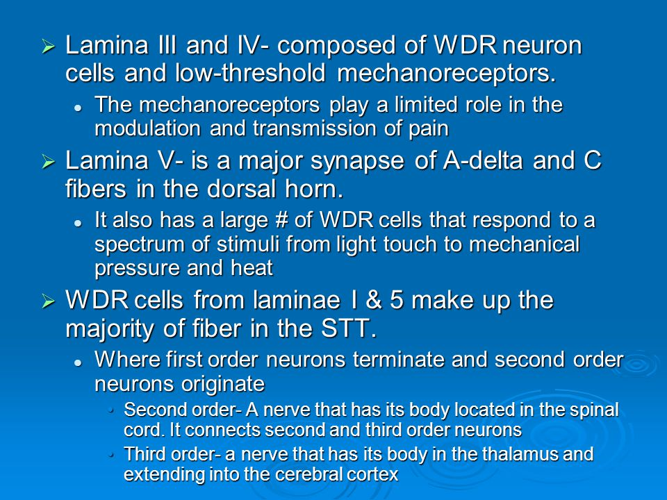  Lamina III and IV- composed of WDR neuron cells and low-threshold mechanoreceptors. The mechanoreceptors play a limited role in the modulation and t