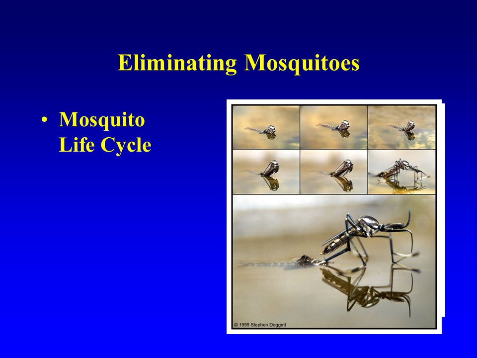 Eliminating Mosquitoes Mosquito Life Cycle