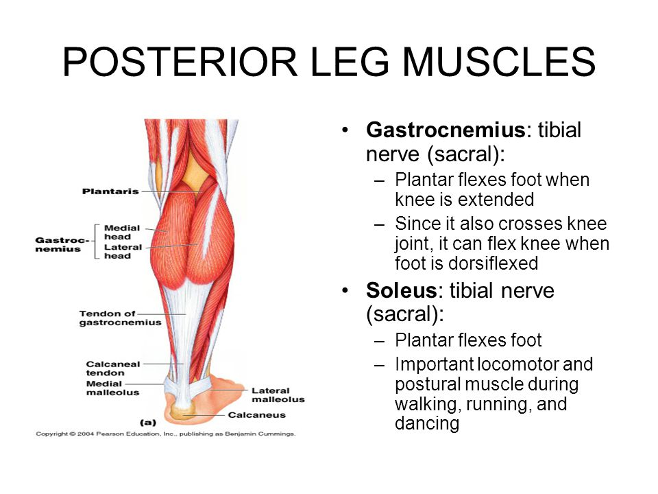 POSTERIOR LEG MUSCLES Gastrocnemius: tibial nerve (sacral): –Plantar flexes foot when knee is extended –Since it also crosses knee joint, it can flex