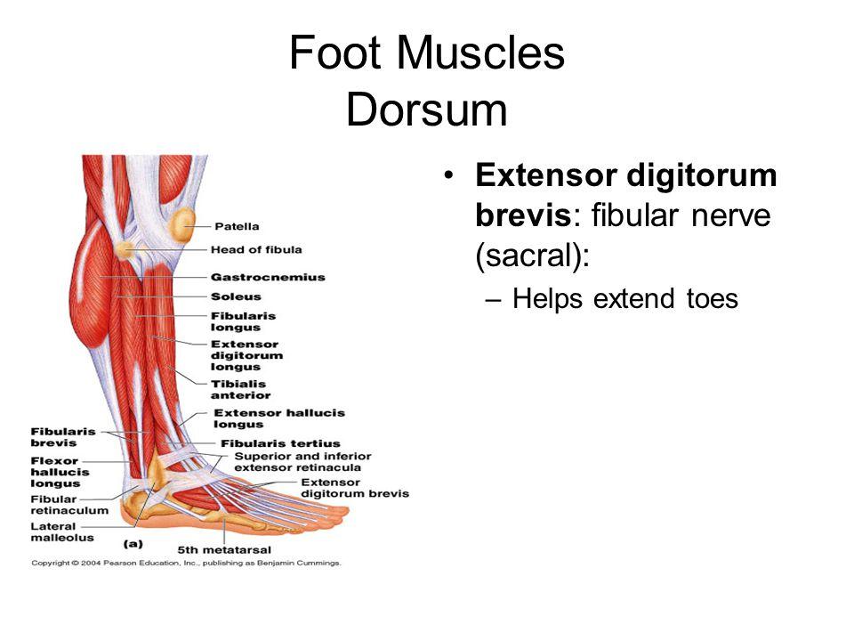 Foot Muscles Dorsum Extensor digitorum brevis: fibular nerve (sacral): –Helps extend toes