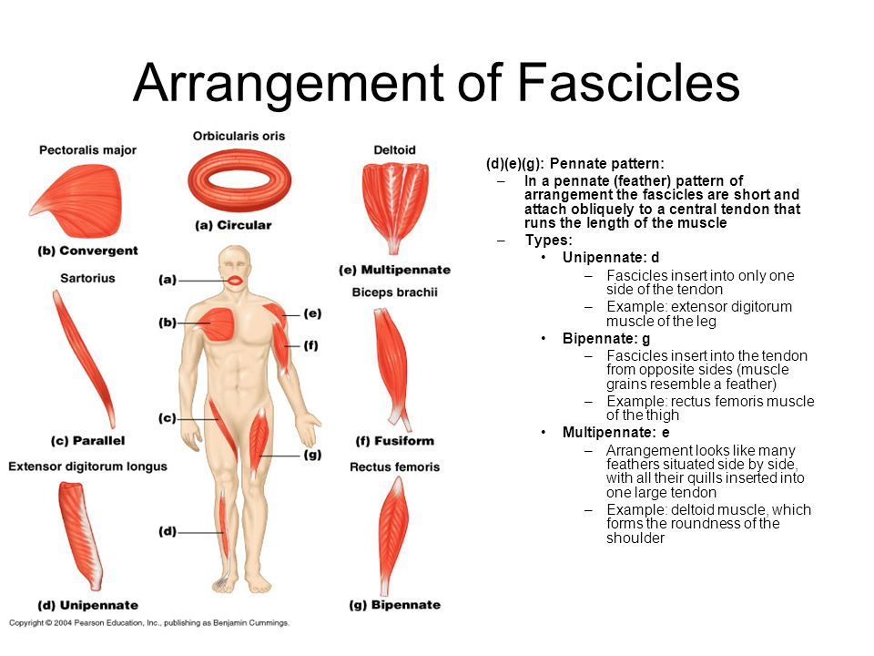 Arrangement of Fascicles (d)(e)(g): Pennate pattern: –In a pennate (feather) pattern of arrangement the fascicles are short and attach obliquely to a
