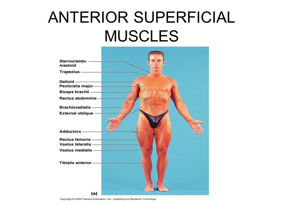 ANTERIOR SUPERFICIAL MUSCLES