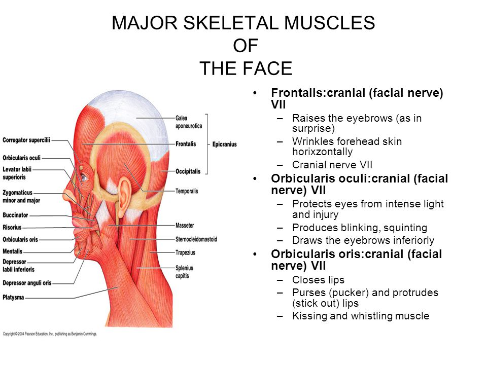 MAJOR SKELETAL MUSCLES OF THE FACE Frontalis:cranial (facial nerve) VII –Raises the eyebrows (as in surprise) –Wrinkles forehead skin horixzontally –C