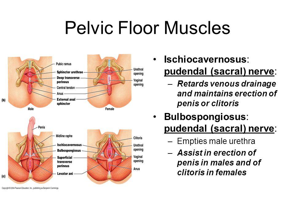 Pelvic Floor Muscles Ischiocavernosus: pudendal (sacral) nerve: –Retards venous drainage and maintains erection of penis or clitoris Bulbospongiosus: