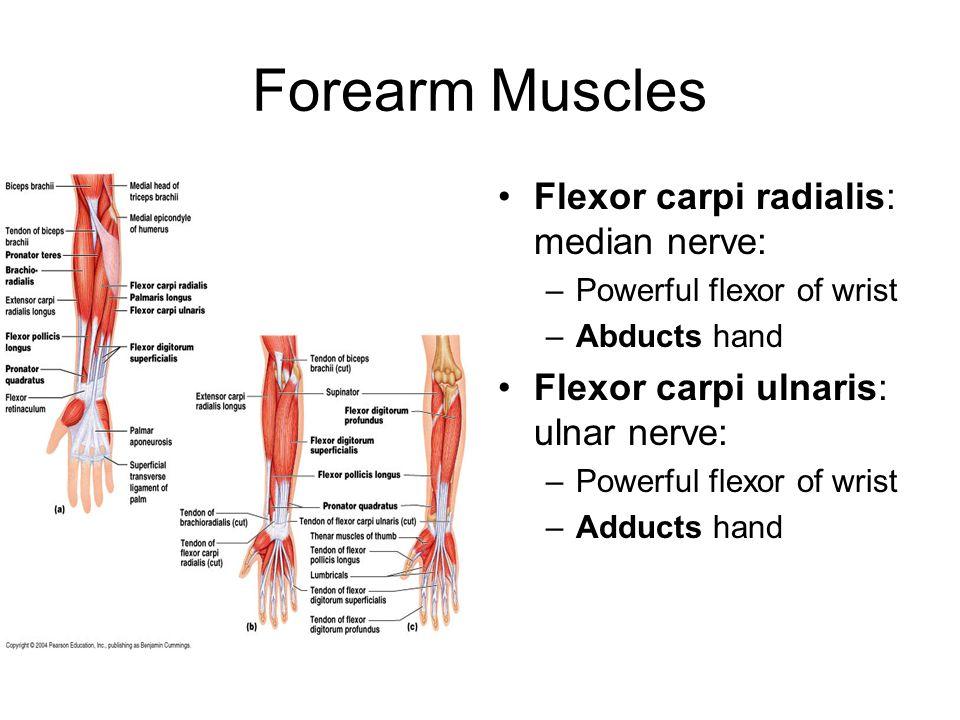 Forearm Muscles Flexor carpi radialis: median nerve: –Powerful flexor of wrist –Abducts hand Flexor carpi ulnaris: ulnar nerve: –Powerful flexor of wr