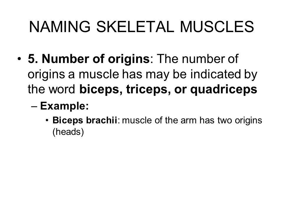 NAMING SKELETAL MUSCLES 6.